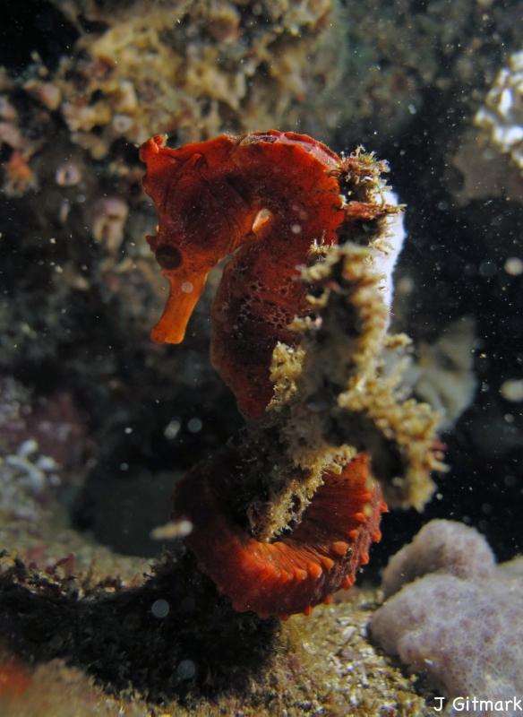 Hippocampus%20ingens_Galapagos