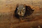PAR LE TROU DE LA LORGNETTE Écureuil roux caché dans un trou de pic