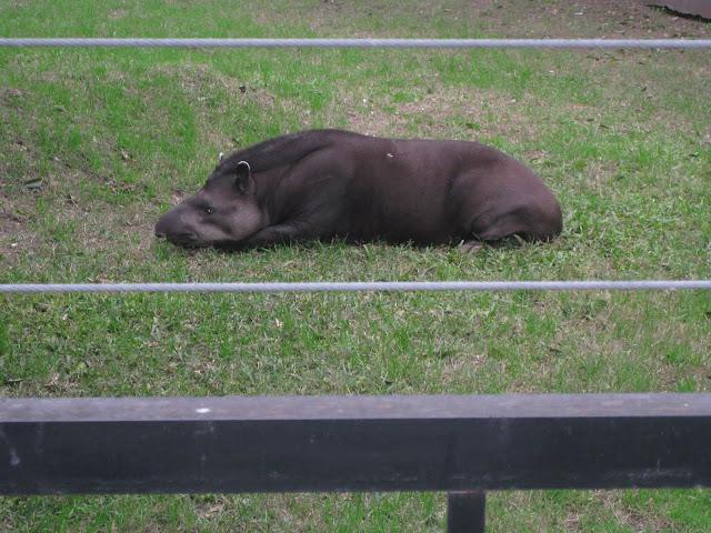 Tapir = cross between anteater and wild boar?