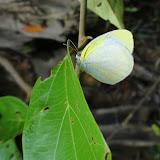 Eurema agave agave (CRAMER, 1775). Colider (Mato Grosso, Brésil), avril 2011. Photo : Cidinha Rissi