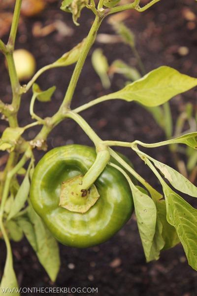 Green Pepper on the vine
