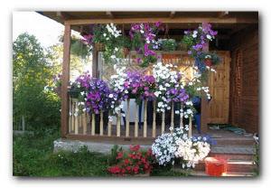 петунии для цветника