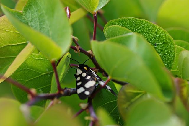 Arctiinae : Epicallia villica (L., 1758). Hautes-Courennes (558 m), Saint-Martin-de-Castillon (Vaucluse), 7 mai 2014. Photo : J.-M. Gayman