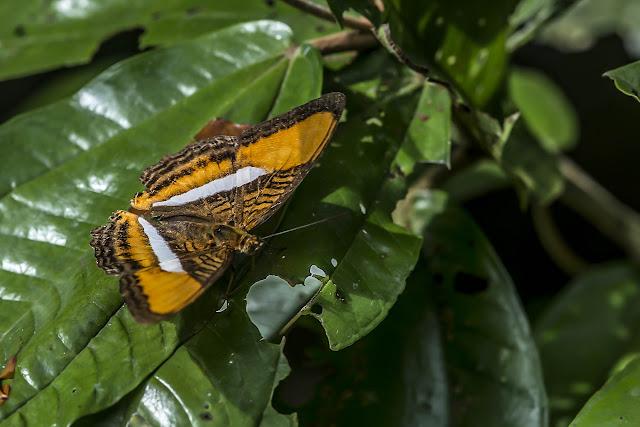 Adelpha cytherea olbia (C. Felder & R. Felder, 1867). Finca La Graciela, 239 m (Tamarindo, Casanare, Colombie), 5 novembre 2015. Photo : B. Lalanne-Cassou