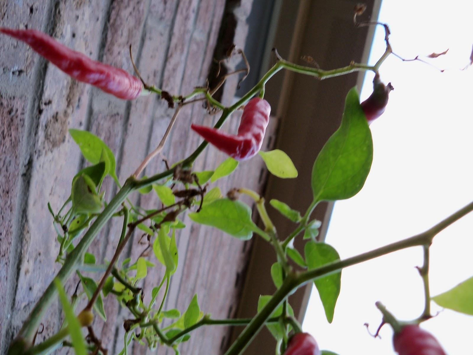 Gardening 2012 - 115_2184.JPG