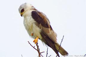 White-tailed Kite, Milano Blanco, Elanus leucurus, parque Nacional Chingaza, Birding tour eastern andes with Bogota Birding.JPG