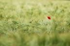 UNE NAISSANCE ? UN BAPTÊME ??Non non, un coquelicot dans un champs de blé !