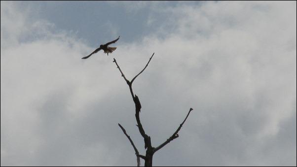American Kestrel Bird (3)
