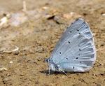 Skovblåfugl.jpg