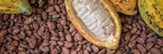 Rains Boosts Ivory Coast's Cocoa