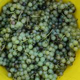 Petites vendanges 2017 du chardonnay gelé. guimbelot.com - 2017-09-30%2Bvendanges%2BGuimbelot%2Bchardonay-113.jpg