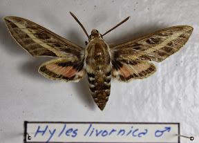 HYLES LIVORNICA.JPG