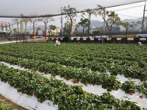 10D9N Taiwan Trip: Strawberry Picking at Taichung