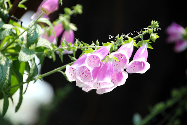 light purple Foxgloves
