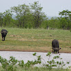 2012-11-18 11-57 Park Krugera - bawoły.JPG