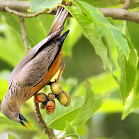 chestnut tailed starling.. by Shibram Nag - Animals Birds ( chestnut tailed starling.. )