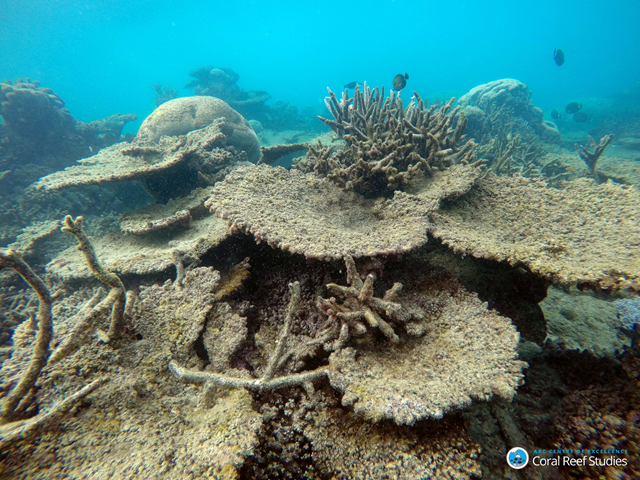 Dead table corals killed by bleaching on Zenith Reef, on the Northern Great Barrier Reef, November 2016. Photo: Greg Torda / ARC Centre of Excellence for Coral Reef Studies