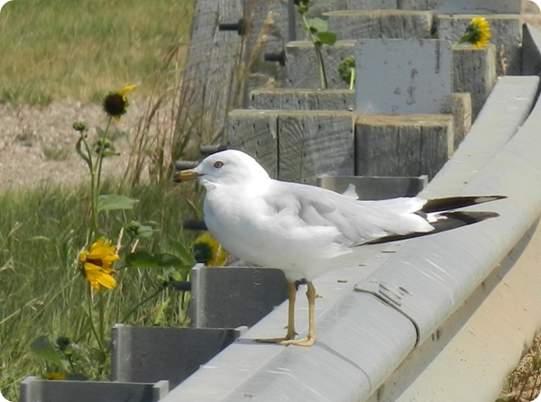IMG_8602 Ring-billed Gull Bird (3)