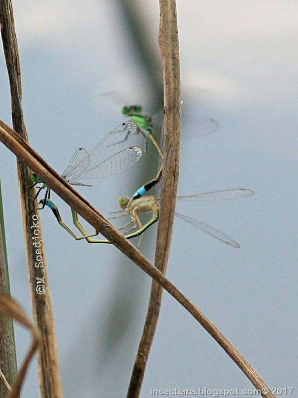Ischnura senegalensis 9