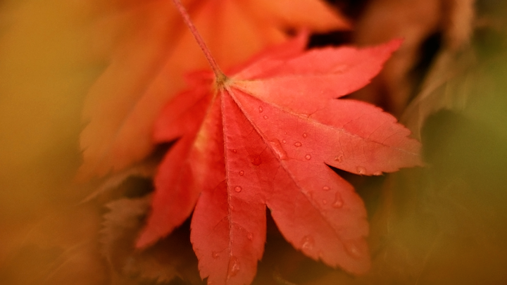 Wet Autumn Leaf wallpaper