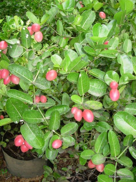 Carissa Plant - DSCN2202.JPG