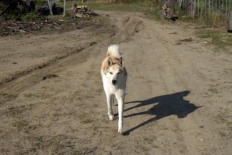 Photo: Laika-koira kylän raitilla