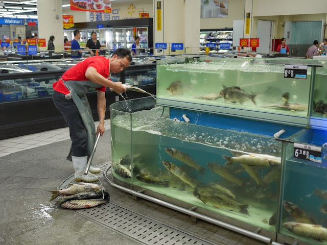 worker pulling out large fish from a tank at Walmart