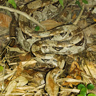 Boa Constrictor, Red-tailed Boa
