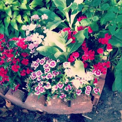 dianthus in a small urban garden