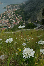 Photo: Wild flowers at Kotor