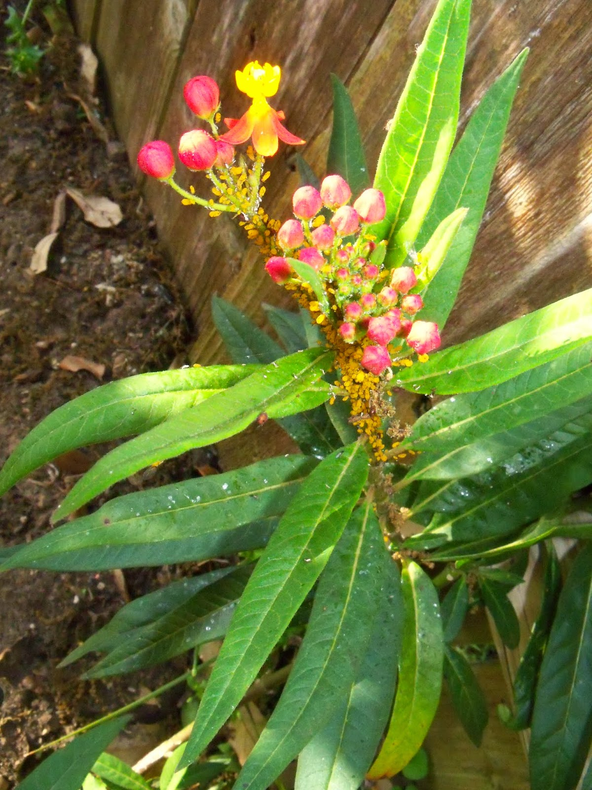 Gardening 2015 - 116_7667.JPG