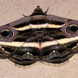 Noctuidae : Catocalinae : Donuca rubropicta BUTLER, 1874. Près de Kyogle (NSW), 27 décembre 2004. Photo : J. Michel