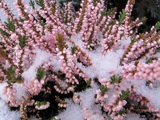 Schi Austria. flori de iarnă :)