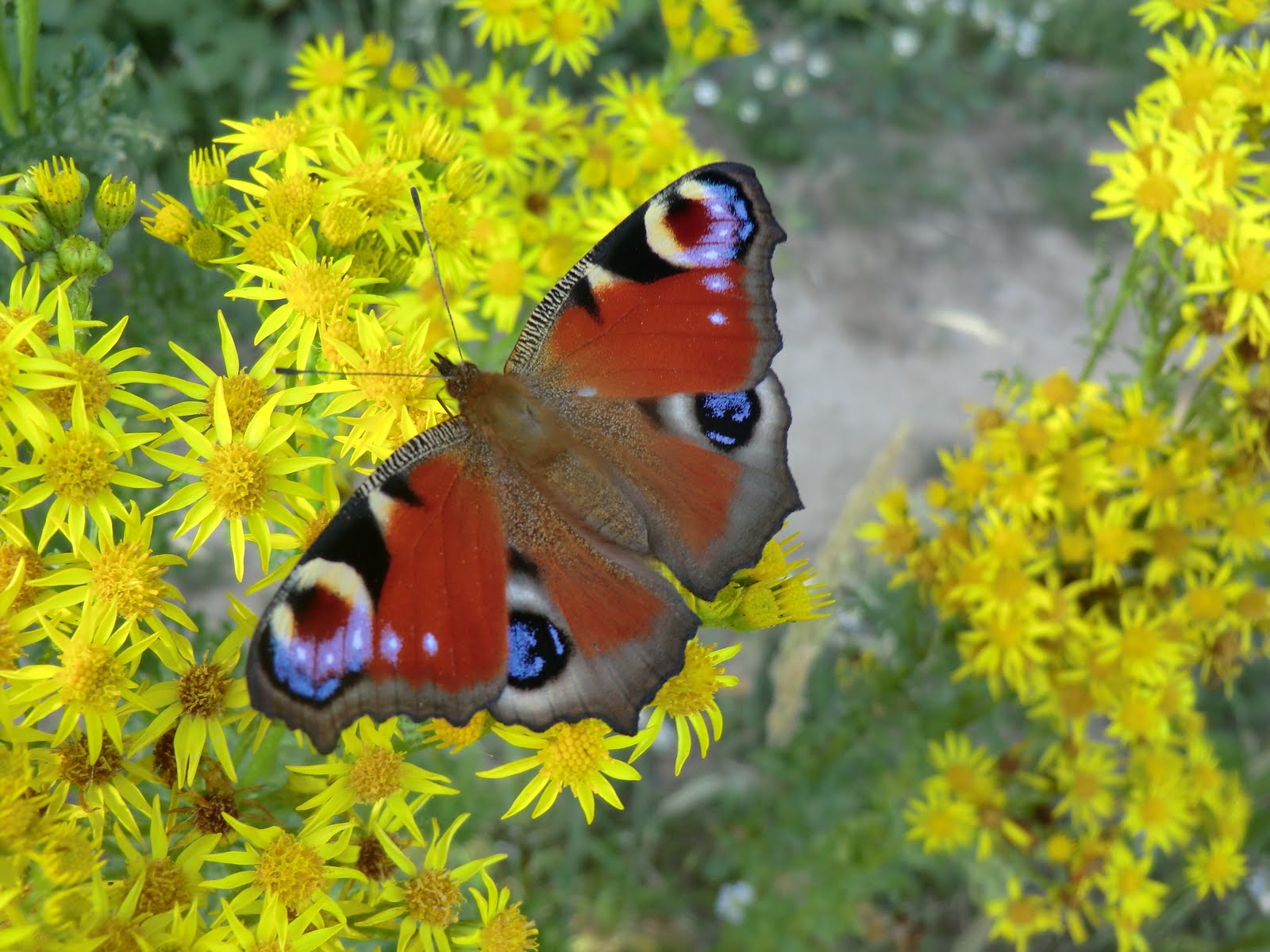 CIMG3057 Peacock butterfly on ragwort