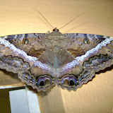Erebidae : Erebinae (Ophiderinae) : Ascalapha odorata (LINNAEUS, 1758), femelle. Pitangui (MG, Brésil), 27 avril 2009. Photo : Nicodemos Rosa