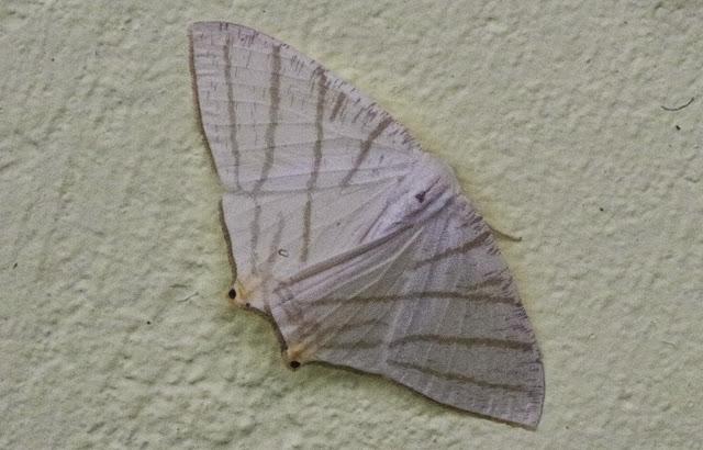 Brachurapteryx tesserata Guenée, 1858. Mount Totumas, 1900 m (Chiriquí, Panamá), 20 octobre 2014. Photo : J.-M. Gayman