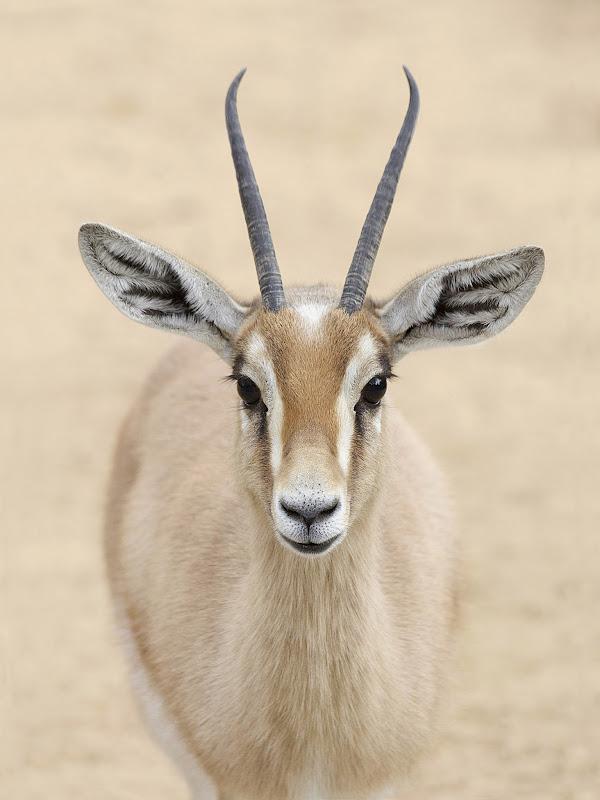 Antilope 30x40