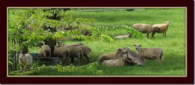 sheepIMG_2232