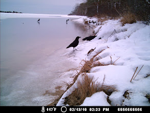Photo: Crows at a Tisbury Great Pond Den