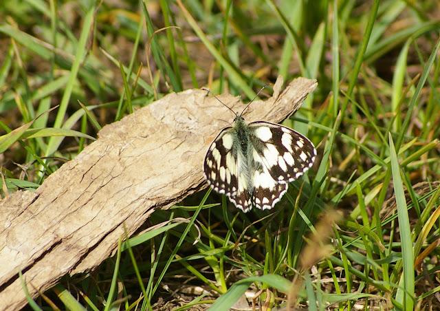 Melanargia galathea L., 1758. Les Hautes-Lisières (Rouvres, 28), 8 juin 2011. Photo : J.-M. Gayman