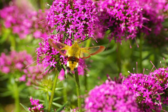 Sphingidae : Macroglossinae : Hemaris fuciformis (LINNAEUS, 1758), mâle. Hautes-Lisières (Rouvres, 28), 31 mai 2010. Photo : J.M. Gayman