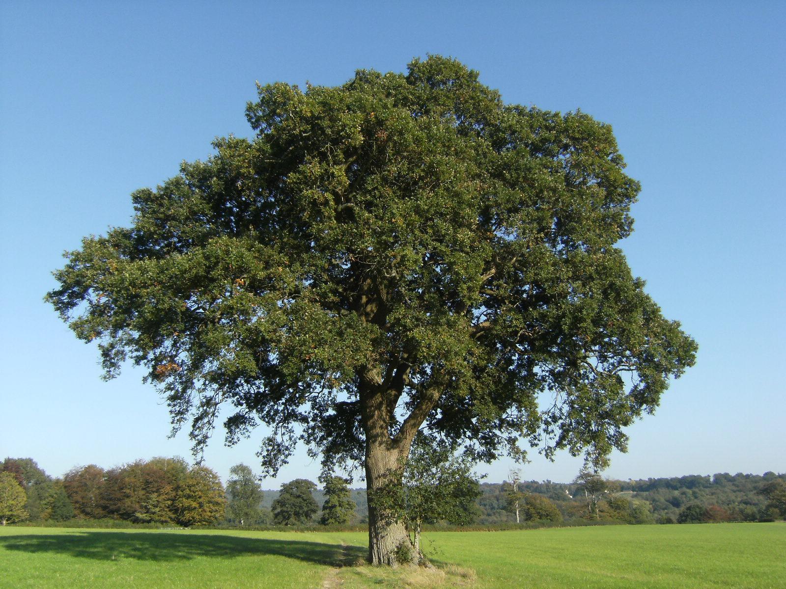 DSCF9854 Oak tree near Grinstead Wood