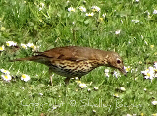 Song Thrush? (Or Mistle Thrush?) Amsterdam. © Copyright, Shelley Banks, all rights reserved.