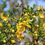 Creosote bush - креозотовый куст