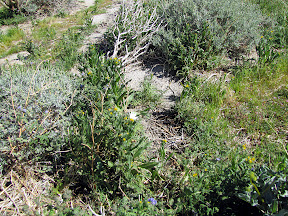 According to Ron over at www.my-photo-blog.com/ this may be the invasive Sahara Mustard that is choking the native wildflowers