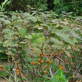 Plantation de Narangille ou naranjilla de Quito (Solanaceae : Solanum quitoense). Au Nord de Cuellaje, 2000 m (Imbabura, Équateur), 10 décembre 2013. Photo : J.-M. Gayman