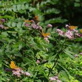 Argynnis paphia (L., 1758), mâles et femelles, sur Pigamon à feuilles d'ancolie, Thalictrum aquilegiifolium. Chemin de La Rodé, 620 m, Cocurès (Lozère), 8 août 2013. Photo : J.-M. Gayman