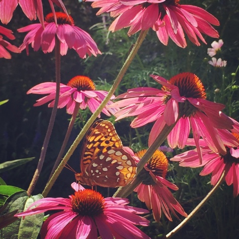 Butterfly on Purple Coneflower, Echinacea purpurea