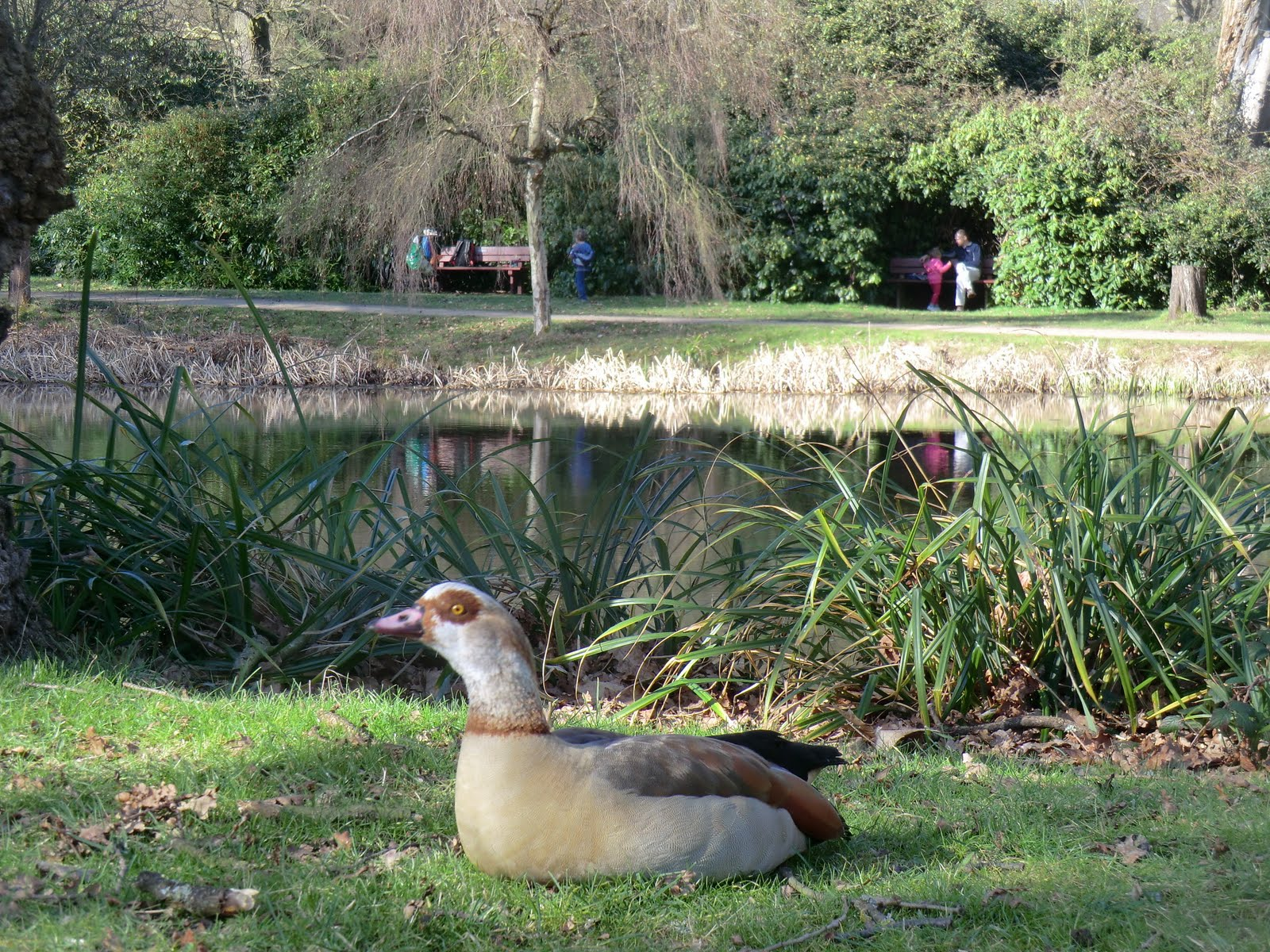 CIMG6733 Egyptian Goose at Fisher's Pond