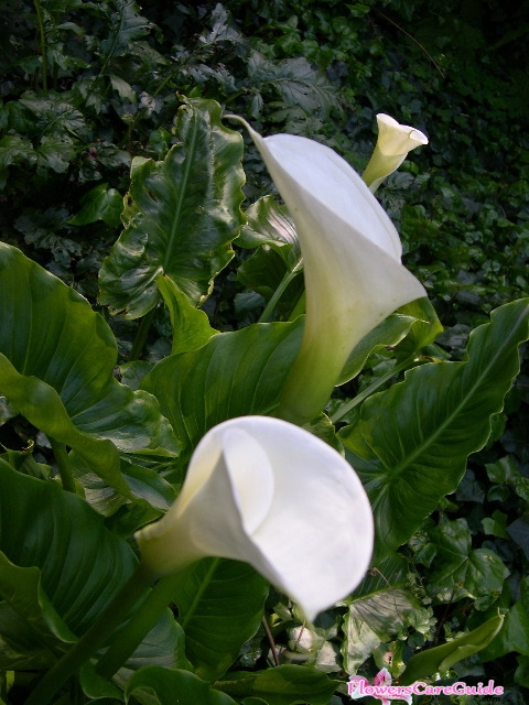 The Instruction of Splitting Calla Lilies